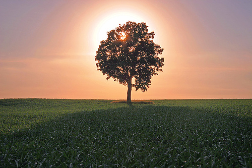 Lone Backlit Tree